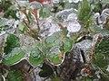 Ice on leaves.jpg