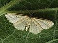 Idaea humiliata - Isle of Wight wave - Малая пяденица скромная (40263678224).jpg