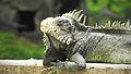 Iguana - Zoologico Bararida Barquisimeto.JPG