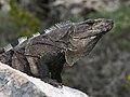 Iguana close-up (4256789623).jpg