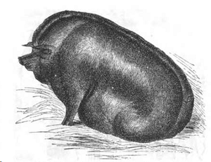 Essex pig - Essex boar at the 1843 Royal Agricultural Show in Derby