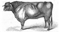 Illustrirte Zeitung (1843) 12 184 2 Langhörniger Bulle von reiner Race des Herrn Hertall.PNG