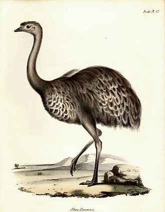 On the Origin of Species - John Gould's illustration of Darwin's rhea was published in 1841. The existence of two rhea species with overlapping ranges influenced Darwin.