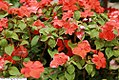 Impatiens walleriana Dazzler Orange 2zz.jpg