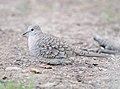 Inca Dove, southern Arizona 02.jpg