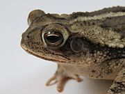 Head view of a toad