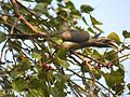Indian Grey Hornbill I IMG 8095.jpg