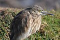Indian Pond Heron (6859281229).jpg