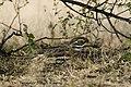 Indian Stone-curlew in Koonthalulam Tamilnadu, India, by Dr. Tejinder Singh Rawal.jpg