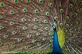 Indian peafowl or blue peafowl (Pavo cristatus) 01.jpg