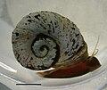 Indoplanorbis exustus.jpg