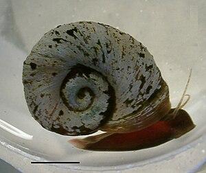 Planorbidae - A live individual of Indoplanorbis exustus