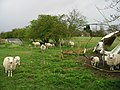 Inquisitive sheep and lambs - geograph.org.uk - 759767.jpg