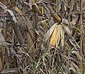 Iowa field corn.jpg