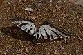 Iphiclides podalirius exanimus (KPFC) 02.jpg