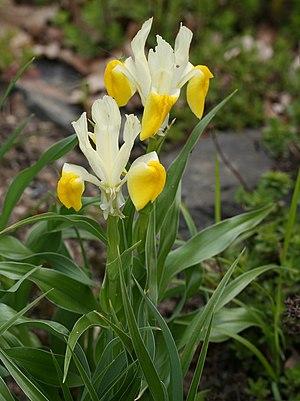 Iris bucharica - I. bucharica, Dresden Botanic Garden