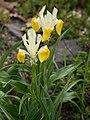 Iris bucharica 01.jpg
