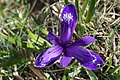 Iris ruthenica - Bucegi, Jepii mici 3.jpg