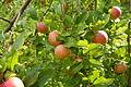 Jabloň apple.jpg