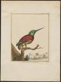 Jacamerops grandis - 1810-1819 - Print - Iconographia Zoologica - Special Collections University of Amsterdam - UBA01 IZ16800395.tif