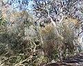 Jacksonia lehmanii.jpg