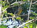 Jamaican Spindalis RWD1.jpg