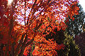 Japanese Maple Acer palmatum Autumn Tree 3008px.jpg
