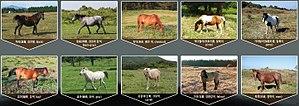 Jeju horse - Jeju horse (Coat colors)