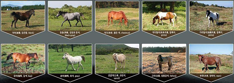 Jeju Horse Wikipedia