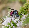 Jewel Wasp › Chrysididae . Probably Hedychrum niemelai - Flickr - gailhampshire (1).jpg