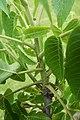 Juglans nigra (Black Walnut) (35183089715).jpg