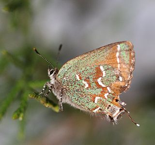 <i>Callophrys gryneus</i> species of insect