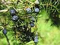 Juniperus communis, Spomenik prirode Slapovi Sopotnice, Srbija (51).jpg