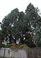Juniperus virginiana warszawa.jpg