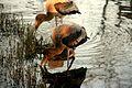 Juvenile painted stork.jpg