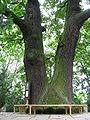 Körnerův dub (Plzeň).jpg