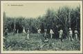 KITLV - 33453 - Kurkdjian, N.V. Photografisch Atelier - Soerabaja - A group of laborers cutting sugarcane on Java - circa 1920.tif