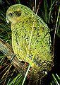 Kakapo (Strigops habroptila)-6.jpg