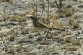 Kalahari Scrub-Robin- Etosha - Namibia0004 (19363437585).jpg