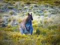 Kangaroo Wildlife at Cradle Mountain National Park.jpg