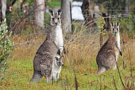Kangaroo and joey02.jpg