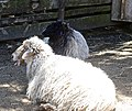 Karakul sheep in Akron Zoo 2.jpg