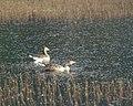 Keswick-22-zwei Enten im Schilf-1989-gje.jpg