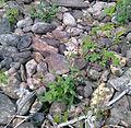 Kies-Taubenkropf-Leimkraut (Silene vulgaris glareosa).jpg