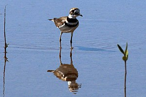 Killdeer - Image: Killdeer (Charadrius vociferus ternominatus) chest