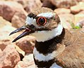 Killdeer and child, crop.JPG