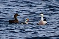 King Eider and Common Eider (13667559035).jpg