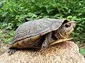 Kinosternon scorpioides scorpioides 64675451.jpg