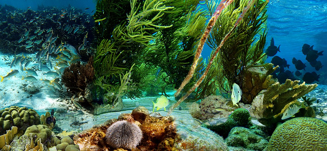Underwater life of Klein Bonaire - composite of 8 photos from ...: https://en.wikipedia.org/wiki/Underwater