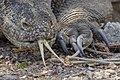 Komodo dragon (Varanus komodoensis) on Pulau Komodo - Indonesia 05.jpg